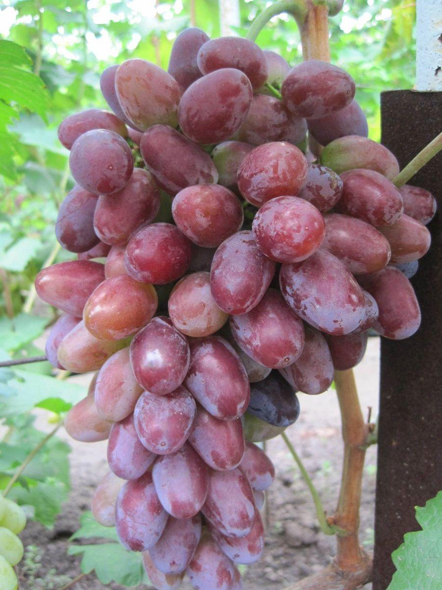 все сорта винограда с фото и описанием очень